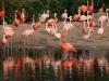 Flamingos_0022
