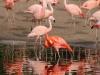 Flamingos_0024