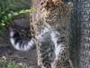 Leopard_0006