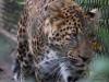 Leopard_0009