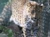 Leopards_0007