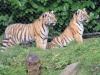 Tigerbabys_0012