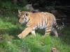 Tigerbabys_0014