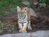 Tigerbabys_0020