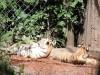 Tigerbabys_0002