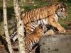 Tigerfamilie_0001