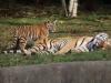 Tigerfamilie_0004