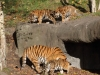 Tigerfamilie_0005