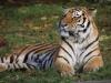Tigerfamilie_0006