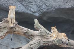 Löwengeburtstag