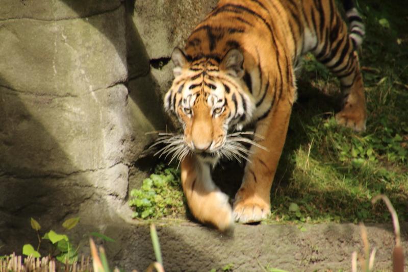 Tiger Yasha beim Tierpark Hagenbeck