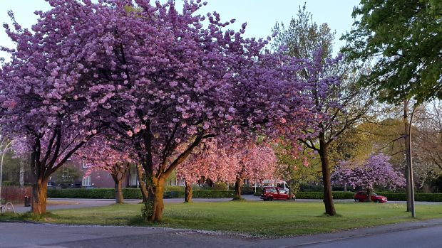 Straßenbäume in der Bebelallee