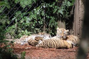 Tigerbabys bei Hagenbeck