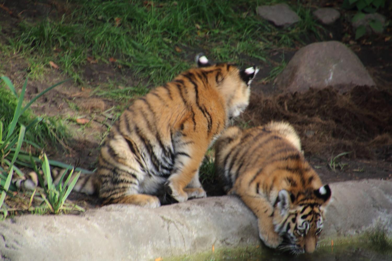 Tigerbabys bei Hagenbeck im Außengehege
