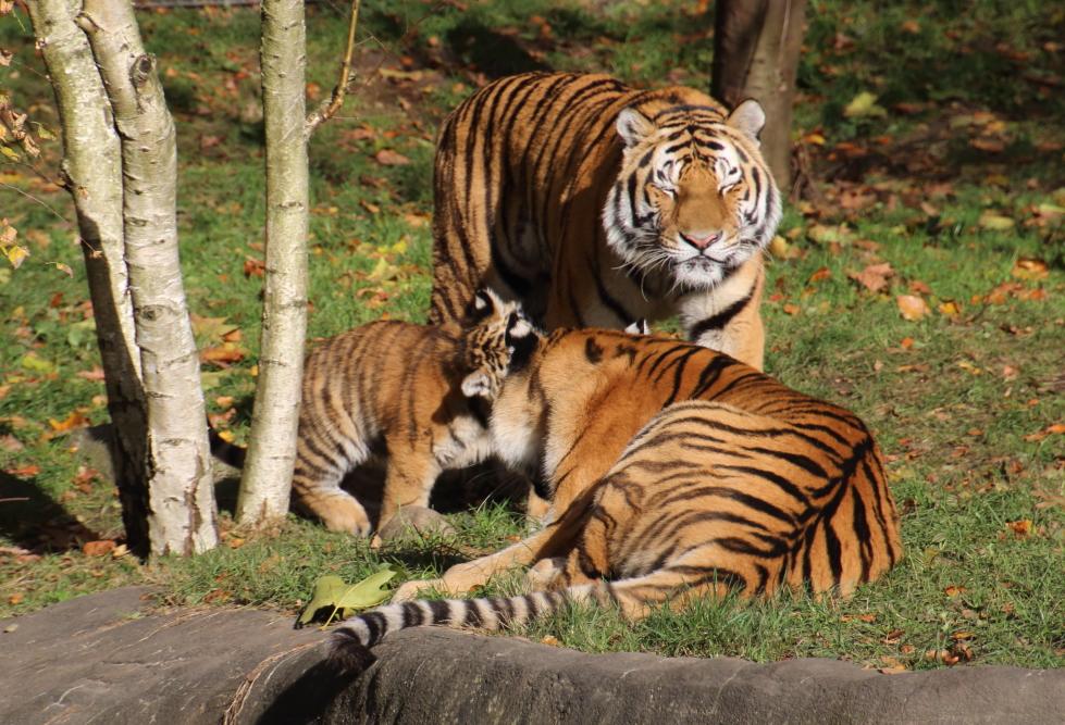 Tigerfamilie bei Hagenbeck