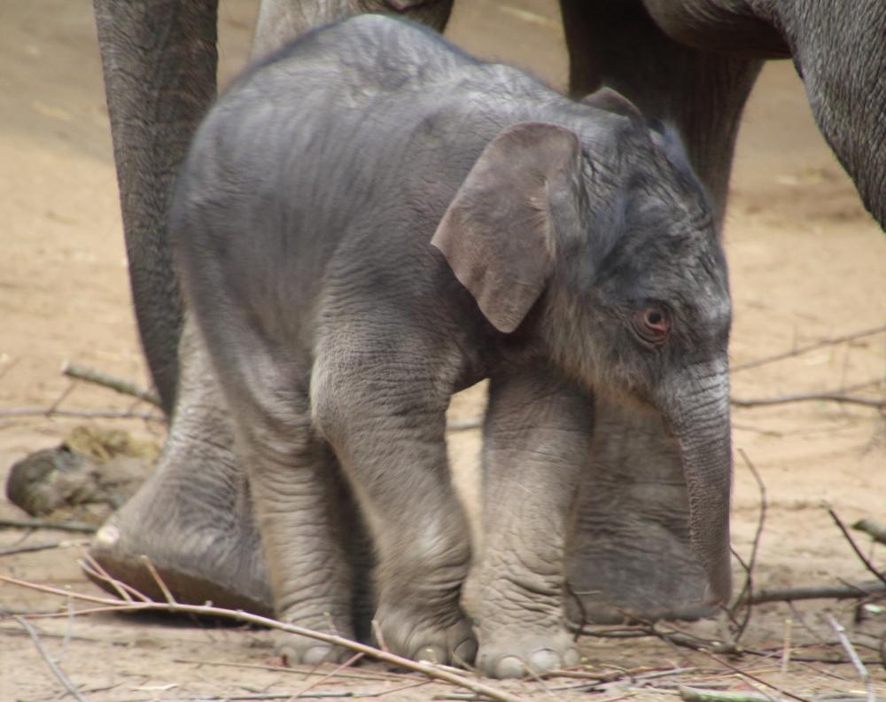 Elefantenbaby bai Hagenbeck